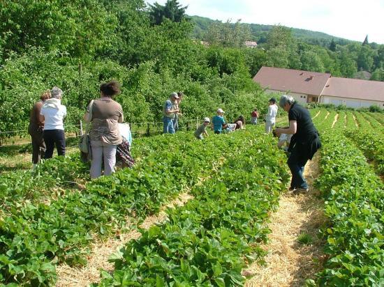 Les visiteurs en pleine dégustation des fraises des Vergers de Sellières.
