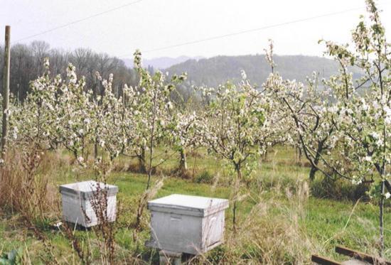 """Aux Vergers de Sellières (Jura), abeilles et aussi bourdons sont """" élevés pour que des pommes puissent éclore """""""